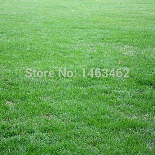 1 original paquet 300pcs graines d'herbe, terrains de soccer dédiés semences Evergreen Lawn (Mix commande minimum 6 $)