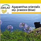 SAFLAX - Anzucht Set - Schmucklilie / Liebesbaum - 50 Samen - Agapanthus orientalis ssy. praecox (blue)