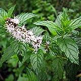 MENTA SPICATA - SPEARMINT 2.800 SEMI (Mentha Viridis / Romana) Mentastro aromatica