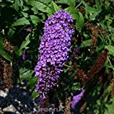 Schmetterlingsflieder Reve de Papillon Lavender 60-80cm - Buddleja