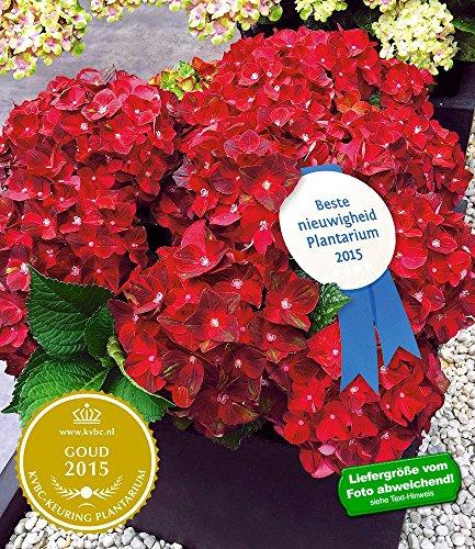 baldur-garten-freiland-hortensie-ruby-tuesday-12-cm-topf-1-pflanze-hydrangea-macrophylla