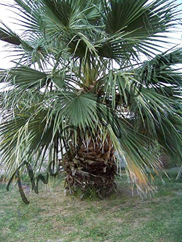 ANVIN Keimfutter: 100 Samen Washingtonia Filifera Fan Palm Short Wüste Saatgut Arizona