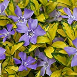 3 VINCA MINOR ILLUMINATION LESSER PERIWINKLE EVERGREEN SHRUB GARDEN PLANT IN POT