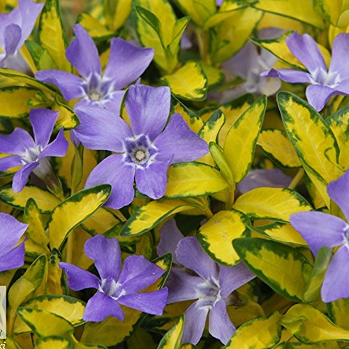 1-vinca-minor-illumination-lesser-periwinkle-evergreen-shrub-garden-plant-in-pot