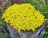 unsere-gaertnerei Mauerpfeffer gelb(Sedum Acre) Pflanze, 40 x 40 x 15 cm