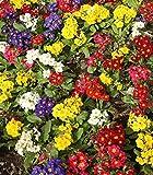 Primula, semi primaverili inglesi mix - Primula acaulis - 140 semi - 140 semi