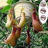 Rowentauk 50 stücke Fleischfressende Pflanzen Samen, Nepenthes Samen Topf Insektenfressende Pflanzensamen für Bonsai Gras Pflanzen für Hausgarten Balkon Terrasse Topf Decor