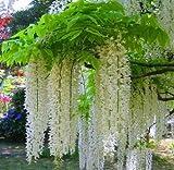 Semi di glicine, bonsai Wisteria sinensis albero 100% vero seme fucilazione in contanti, 100 pc / sacchetto