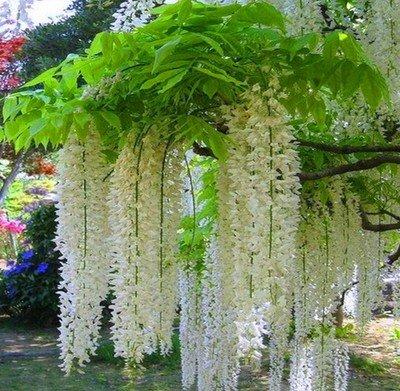 Wisteria glicine vite semi alberelli semi piante da giardino vegetale raffinato di fiori 5 semi