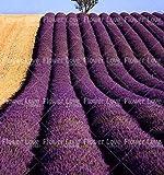 Pinkdose 100PCS Französisch Provence Lavendel Pflanze Schöne Blume Pflanze stark duftend Bio-Lavendel-Anlage für Hausgarten-Bepflanzung: 2
