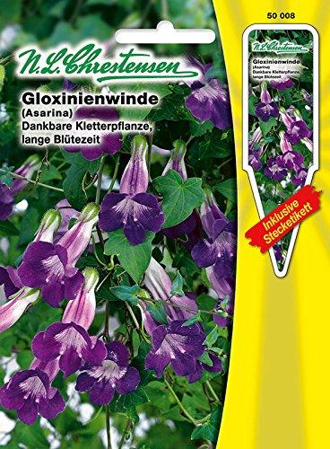 Gloxinienwinde Dankbare Kletterpflanze lange Blütenzeit Asarina barclaiana Winde