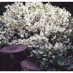 Dominik Blumen und Pflanzen, Maiblumenstrauch Deutzie, Deutzia gracilis, weiß blühend, 2 Pflanzen, 20 - 40 cm hoch, 2 Liter Container, winterhart