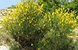 Vivai Le Georgiche Spartium Junceum (Ginestra Di Spagna)