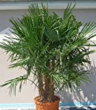 Seltene Trachycarpus Fortunei Frostharte Hanfpalme210-220 cm. mit 3 Stämmen Frosthart bis - 17 Grad
