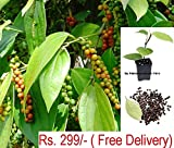 #8: Vamsha Nature Care Live Black Pepper Plant Healthy Black Pepper Spice Plant