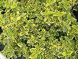 Euonymus Livornese Pianta in vaso di Euonymus Livornese - 10 Piante in vaso 7x7