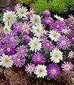 BALDUR-Garten Anemonen 'Bunter-Mix', 25 Zwiebeln Anemone blanda von Baldur-Garten - Du und dein Garten