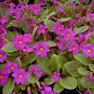 lichtnelke - Bergprimel/Teppichprimel (Primula pruhoniciana) lila