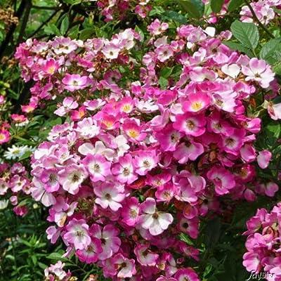 Historische Strauchrose 'Mozart®' von Garten Schlüter auf Du und dein Garten