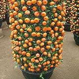 Mandarina enanos semillas en el interior al aire libre de la fruta del árbol Semillas 30pcs + A01