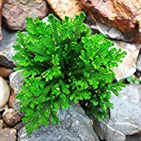 Lonlier Rosa de Jericó Jericho Selaginella Hierba de Resurrección Semilla de Hierba para Balcon Interior,