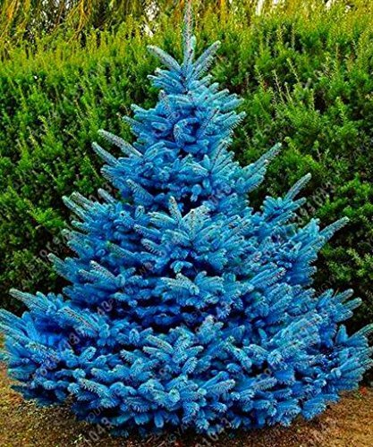SwansGreen Red : 50 Tree Seeds Rare Evergreen Colorado Blue Spruce Seeds PICEA PUNGENS GLAUCA good for growing in pots flower pot planters Red (Spruce Tree Colorado Blue)
