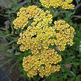Schafgarbe, Achillea millefolium Hybride Terracotta orangebraune Blüte, Staude 0,5 Liter Topf