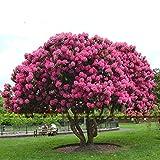 20Stk/30Stk/50Stk Riesen japanische Rosa Sakura Samen Kirschblüten Baum Samen Kirschblüte Samen Bonsai Pflanzen für Haus und Garten