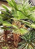10 Samen Trachycarpus Wagnerianus Samen, Wagner's Hanfpalme, Saatgut aus dem Ruhrgebiet