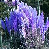Keland Garten - Selten Amerikanisches Pampasgras Ziergras Samen, hervorragend zur Solitärbepflanzung inmitten einer Kies- oder Rasenfläche, an einem Teichrand