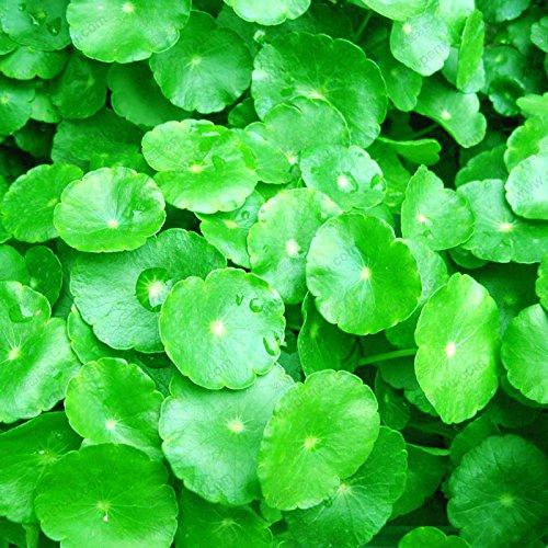 semi d'oro a ferro di cavallo erba denaro appeso bella cascata pianta bonsai 100% di semi di erba vera 100 pc / sacchetto