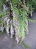 Buddleja alternifolia - (Hängesommerflieder - Hängeschmetterlingsstrauch)- Containerware 60-100 cm