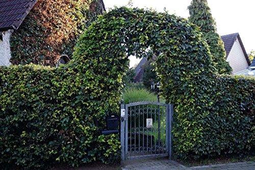 Hêtre Commun - Haie d'hêtre avec une hauter de 60-80 centimètre - grandit dans un pot de fleurs - 200 plantes en remise - Fagus sylvatica floranza® (200)