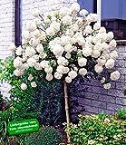 BALDUR-Garten Schneeball-Stämmchen, 1 Pflanze Viburnum Eskimo auf Stamm