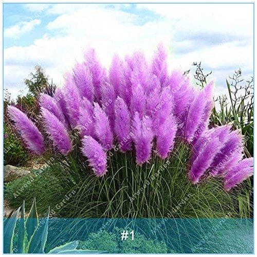Galleria fotografica ZLKING PCS 1000 Pampas Erba bonsai dei semi rari Semi Reed fiore per il giardino domestico Piantare i semi Selloana decorazioni fai da te Giardino 1
