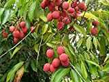 Litchi chinensis Litchibaum Pflanze 20cm essbare Frucht Litschi Liebesfrucht