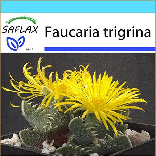 SAFLAX - Geschenk Set - Kakteen - Echter Tigerrachen - 40 Samen - Faucaria tigrina