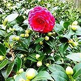 Future Exotics Echte Kamelie Camellia Rossa winterhart 42-45 cm