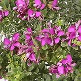 Polygala - Maceta 17cm. - Arbusto de flor - Altura aprox. 40cm. - Planta viva - (Envío sólo a Península)