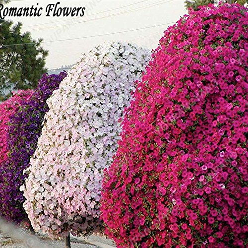 100 / Paquet Rare Graines Petunia Grissinis Jardin Pétunia arbre biologique Très Belle Graines de fleurs bonsaïs Illuminez votre maison blanche