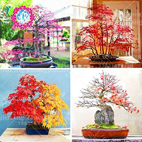 20Pcs RARE Japanischer Ahorn-Samen seltene Regenbogen-Farbe ist sehr schön Japan Pflanzen New Samen Garten Bonsai-Baum-Indoor-Anlage