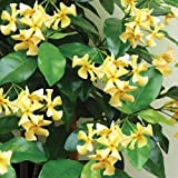 Future Exotics Trachelospermum jasminoides GELBER Blütenduft winterhart 25 - 35 cm