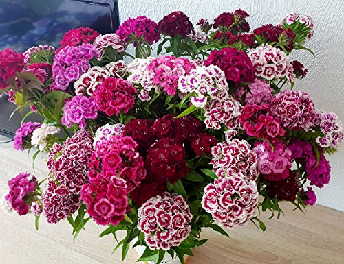 Bartnelke - Sweet William Double Mix - Nelke - Dianthus barbatus - 500 Samen - Dianthus Barbatus