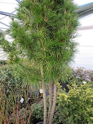 Sciadopitys verticillata Formschnitt-Bonsai - japanische Schirmtanne Formschnitt-Bonsai 100-125 Sperrgut-Versand Bitte Versand- & Zahlungsbedingungen lesen!