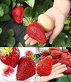 RIESENERDBEEREN - Die größte Erdbeere der Welt 'Giant' - ca. 100 Samen