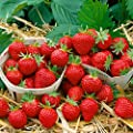 Erdbeere Mara des Bois®, 20 Stück, im Torftopf von Amazon.de Pflanzenservice auf Du und dein Garten