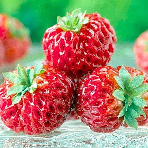 RARITÄT - Himbeer-Erdbeere Aussergewöhnliche Kreuzung Frosthart und mehrjährig 3 Pflanzen in Baumschulqualität