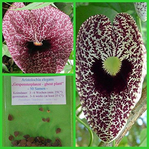 "Gespensterpflanze - 100 Samen - Aristolochia elegans - ""Pfeifenblume"""