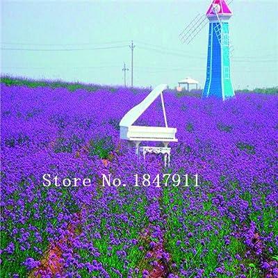 Gran venta 500pcs de semillas de lavanda hierba de semilla de marihuana balcón jardín semillas de flores Cuatro Estaciones