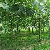 30 semillas / paquete, envío libre, blanco, azul, púrpura semilla de paulownia rosa, las semillas más bellos árboles, plantas